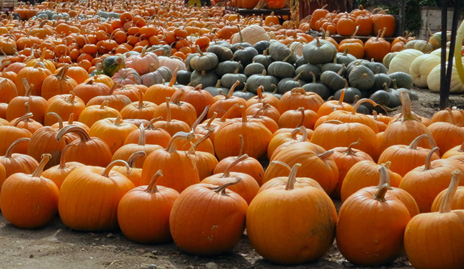 Salinas Valley Pumpkins